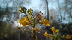 Tree's yellow flowers - (Uncarina grandidieri) poss. Monarch butterfly (poss.) on flower.