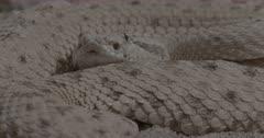 Sidewinder Rattlesnake coiled up flicking tongue