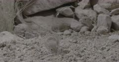 Sidewinder Rattlesnake coiled up two mice scampering around