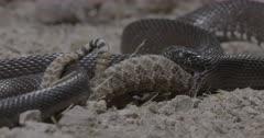 Sidewinder Rattlesnake  eastern indigo snake swallowing rattle snake