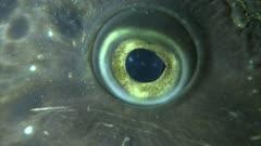 Spotted Wolffish (Anarhichas minor)