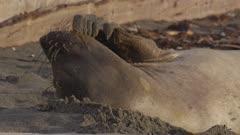 Northern Elephant Seals (Mirounga angustirostris)