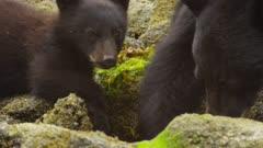 American black bears (Ursus americanus) crabbing in intertidal rocky shore