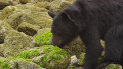 American black bears (Ursus americanus) crabbing in intertidal rocky shore