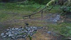 American dipper (Cinclus mexicanus) foraging in Rain Forest River