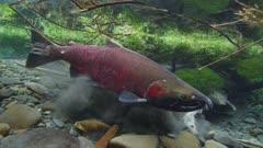 Coho Salmon, Silver Salmon, (Oncorhynchus kisutc) spawning