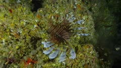 Indopacific Lionfish  (Pterois volitans)