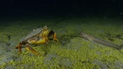 Dungeness crab (Metacarcinus magister) walking through Phytoplankton Fall-Out