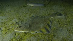 Starry Flounder (Platichthys stellatus)  on Phytoplankton Fall-Out