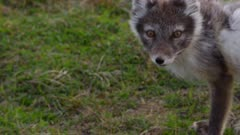 Arcticn  Fox (Vulpes lagopus) foraging