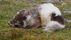 Arctic Fox (Vulpes lagopus) devouring a Thick-billed Murre or Brünnich's Guillemot (Uria lomvia)