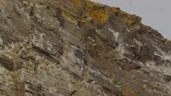 Breeding Colony of Black-legged Kittiwakes (Rissa tridactyl) & Common Murres / Common Guillemots (Uria aalge)