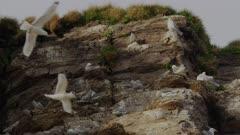 Breeding Colony of Black-legged Kittiwakes (Rissa tridactyl) & Common Murres / Common Guillemots (Uria aalge