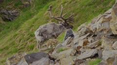 Svalbard Reindeer (Rangifer tarandus platyrhynchus) feeding on Arctic tundra grass during the summer