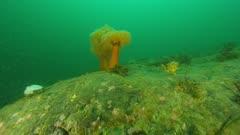 Glacial Eradic Rock underwater with Giant Plumose Anemones