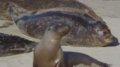 California Sea Lions (Zalophus californianus) socializing