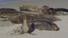 California Sea Lions (Zalophus californianus) socializing