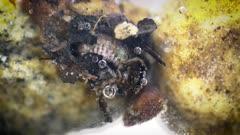 Caddisfly Larvea, Hydropsychidae