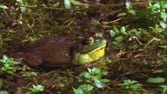 Bull Frog croaking