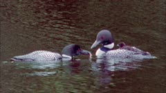 Common Loons chick on back