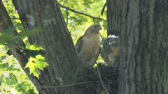 Red-shouldered hawk perched on nest with young