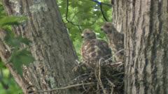 Red-shouldered hawk nestlings perched on nest