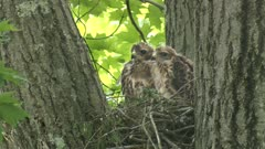 Red-shouldered hawk nestlings perched on nest