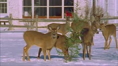 White-tailed deer (whitetail) eating hemlock tree by house