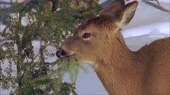 White-tailed deer (whitetail) eating hemlock tree (bough)