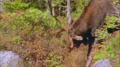 Moose (eastern) bull thrashing/rubbing tree
