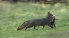 Gray Fox (grey) carrying eastern cottontail rabbit