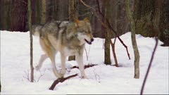 Gray wolf (timber) pack running on snow