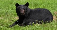 Black Bear in field I
