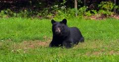 Black Bear in field II