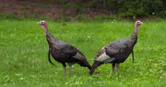 Wild Turkeys Toms alert in field