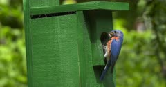 Eastern Bluebird at birdhouse