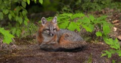 Gray (Grey)Fox lying in woods