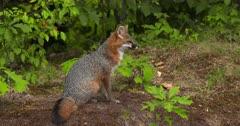 Gray (Grey)Fox alert sitting in woods