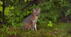 Gray (Grey)Fox sitting alert in woods
