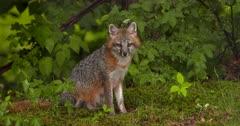 Gray (Grey)Fox sitting in woods
