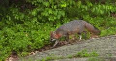 Gray (Grey)Fox walking in woods
