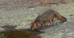 Gray (Grey)Fox drinking at pool of water