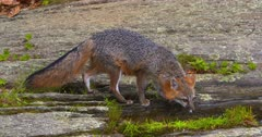 Gray (Grey)Fox drinking at pool of water