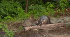 Gray (Grey)Fox fighting with raccoon in woods