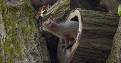 Gray (Grey)Fox kit comes out of hollow log