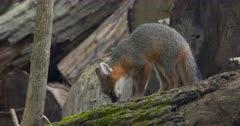 Gray (Grey)Fox kit eating on log by den