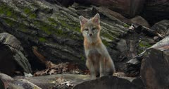 Gray (Grey)Fox kit alert on log by den