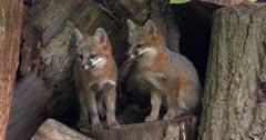 Gray (Grey)Fox kits alert on log by den entrance