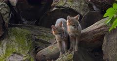 Gray (Grey)Fox kits alert on log by den