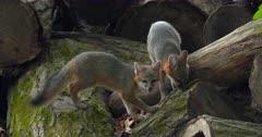 Gray (Grey)Fox kits eating on log by den